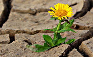 Sunflower in the Mud