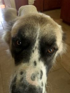 A very big dog sniffs the camera.