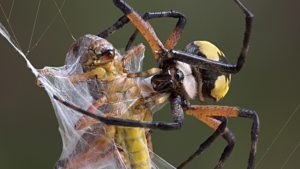 Spider wrapping a grasshopper in its web