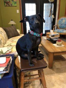 a black dachshund